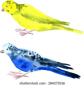 two parrots painted by watercolor, yellow budgies and blue budgies, hand drawn illustration