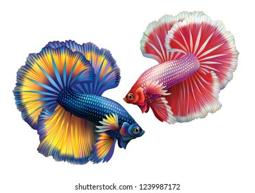 Two Siamese fighting fish, crown-tailed, red-white and blue-yellow on a white background [Betta splendens]