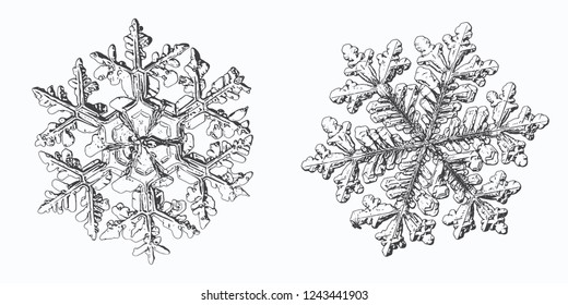 Two snowflakes isolated on white background. Vector illustration based on macro photos of real snow crystals: complex stellar dendrites with hexagonal symmetry, ornate shape and elegant inner details.