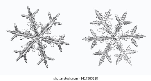 Two snowflakes isolated on white background. Vector illustration based on macro photos of real snow crystals: elegant stellar dendrites with fine hexagonal symmetry, ornate shapes and complex details.