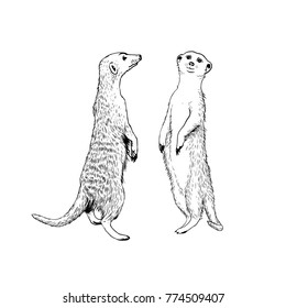 Two standing meerkats (surikat). Vector hand drawn illustration