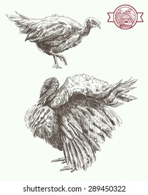 Two turkeys, important walk set of vector sketches on a white background
