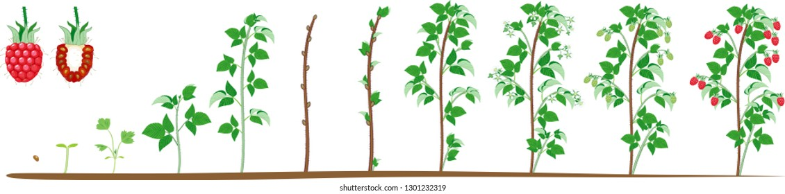 Two year life cycle of raspberry isolated on white background. Growth stages from seed to scrub with harvest of red berries