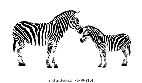 Two zebra. Black and white illustration, isolated on white background.