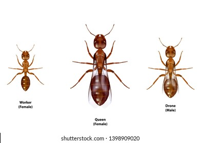 Type of ants,there are worker queen drone.On white background.