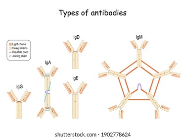 Types of Antibodies and Immunoglobulin. main classes IgG, IgM, IgA, IgD, and IgE. Heavy and Light chains, Joining chain, and Disulfide bond. Vector illustration