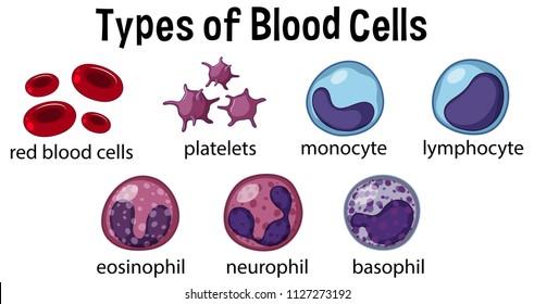 Types of Blood Cells illustration