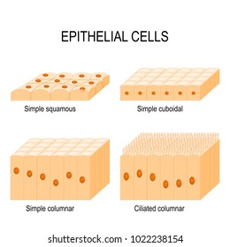 Types of epithelial cells: cilliated columnar, simple columnar, simple cuboidal, and simple squamous cells