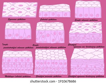 Types of epithelium. Epithelial cells in a variety of configurations.