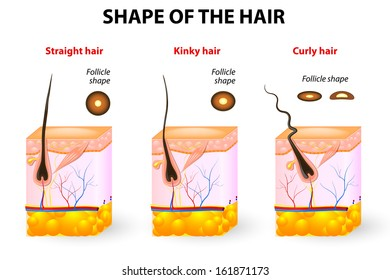 types of hair. Cross section of different hair texture. Follicle shape determines hair texture. Straight, wavy, curly, kinky and spiral hair