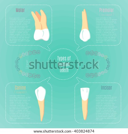 Types Human Teeth Dental Infographic All Stock Vector Royalty Free