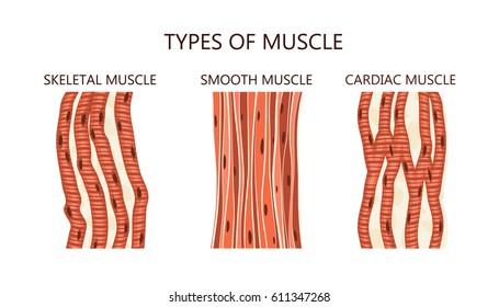 Cardiac Muscle Images Stock Photos Vectors Shutterstock