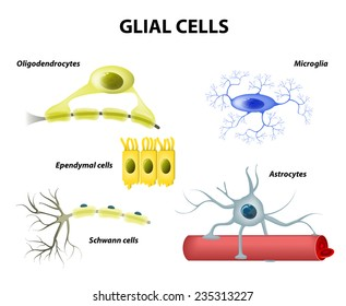 Types of neuroglia. Classification of glial cells: microglia, astrocytes, oligodendrocytes and Schwann cells, Ependymal cells