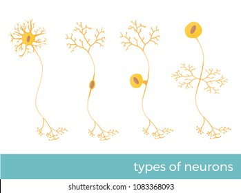 types of neurons - part of human's central nervous system. vector format illustration.
