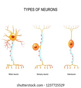 types of neurons: sensory and motor neurons, and interneuron  humans  nervous system