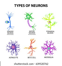Types of neurons. Structure sensory, motor neuron, astrocyte, pyromidal, Betz cell, microglia. Set. Infographics Vector illustration on isolated background