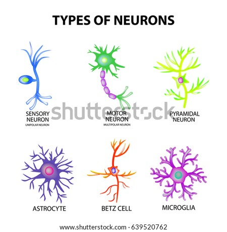 types neurons structure sensory motor neuron のベクター画像素材