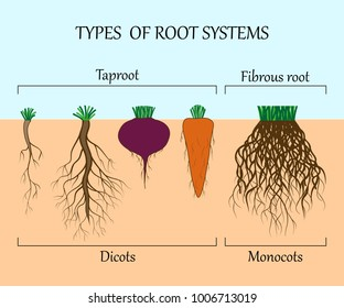 Types of root systems of plants, monosots and dicots in the soil in cut. Education poster, vector illustration.