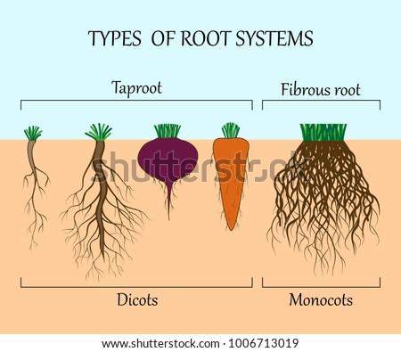 Types Root Systems Plants Monosots Dicots Stock-Vektorgrafik ...