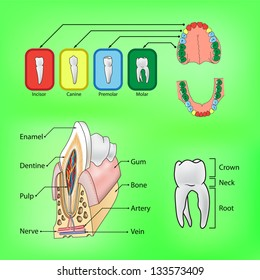 Types of teeth and external and internal structure of tooth in vector format