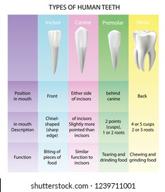 Types of Teeth Realistic Various Human