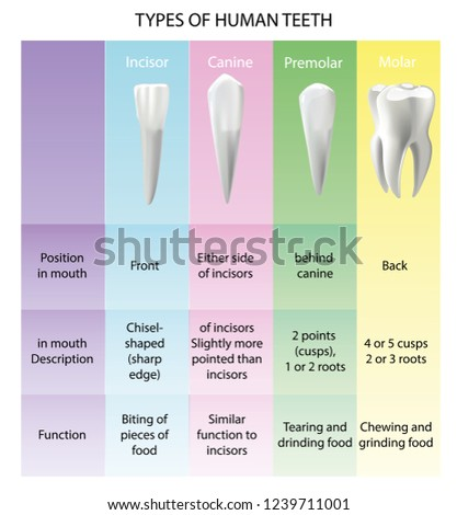 Types Teeth Realistic Various Human Stock Vector Royalty Free