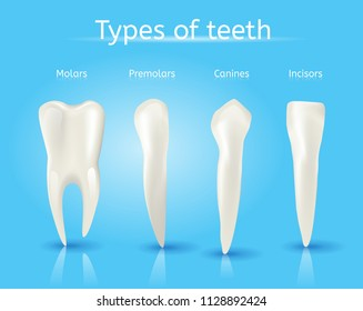 Types of Teeth Realistic Vector Concept on Blue Background. Various Human Teeth with Roots, Molars, Premolars, Canines, Incisors Anatomical 3d Illustration for Medical Infographic, Oral Health Chart