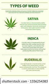 Types of weed vertical infographic, healthcare and medical illustration about cannabis
