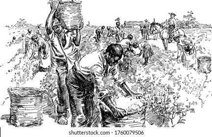 A typical representation of slaves on a cotton plantation, showing how they work in the field, vintage line drawing or engraving illustration.