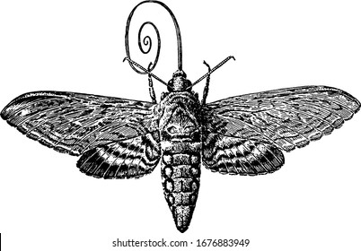 A typical representation of the sphinx moth that hovers in front of flowers and uses its long tongue or sucking-tube, or proboscis, to sip the nectar, vintage line drawing or engraving illustration.