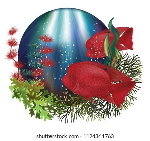 Underwater card with Red Texas Flowerhorn Cichlid fish, vector illustration