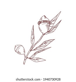 Unopened buds, burgeons and leaves of eucalyptus flower. Contoured detailed botanical art in retro style. Hand-drawn vector illustration of floral element isolated on white background