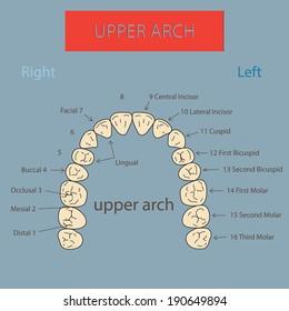 Upper arch.