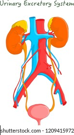 Urinary Excretory System, Kidneys. Urinary system. Drawing vector.