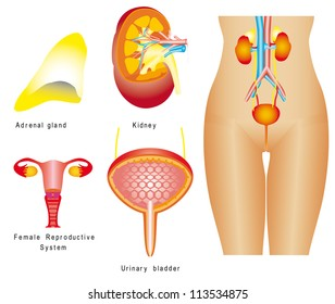 Human Reproductive System Female Reproductive System Images, Stock