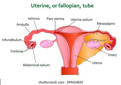uterine and follopian tube diagram