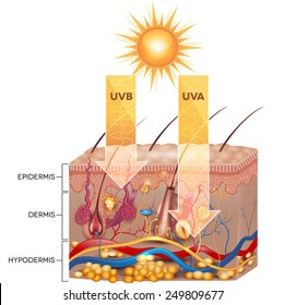 UVB and UVA radiation penetrate into the skin. Detailed skin anatomy.