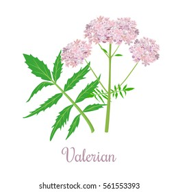 Valerian or Caprifoliaceae herb and flowers. vector illustration. Design for herbal tea, natural cosmetics, health care products, aromatherapy, homeopathy. For print, poster, logo, price tag, label