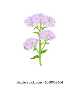 Valeriana officinalis isolated on white background. Vector illustration of medical herb.