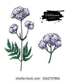 Valeriana officinalis vector drawing. Isolated medical flower and leaves set. Herbal illustration. Detailed botanical sketch for tea, organic cosmetic, medicine, aromatherapy