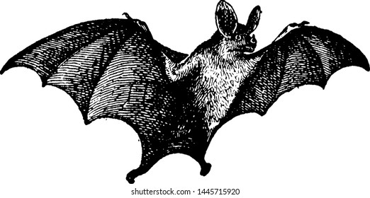 Vampire Bat vintage engraved illustration.