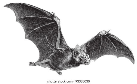 Vampire-Bat (Vampirus spectrum) / vintage illustration from Meyers Konversations-Lexikon 1897