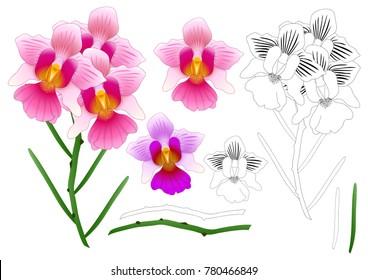 Vanda Miss Joaquim Orchid Outline. Singapore National Flower. isolated on White Background. Vector Illustration.