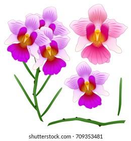 Vanda Miss Joaquim Orchid. Singapore National Flower. isolated on White Background. Vector Illustration.