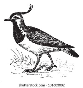 Vanellinae or crested lapwing, vintage engraved illustration. Dictionary of words and things - Larive and Fleury - 1895.