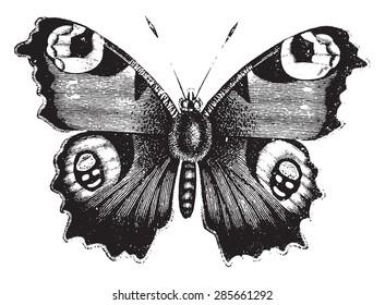 凡妮莎孔雀蝴蝶,古着雕刻插画。 动物自然史,1880 年。