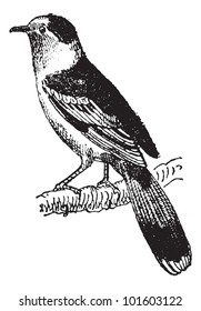 Vanga, a passerine bird, vintage engraved illustration. Dictionary of words and things - Larive and Fleury - 1895.