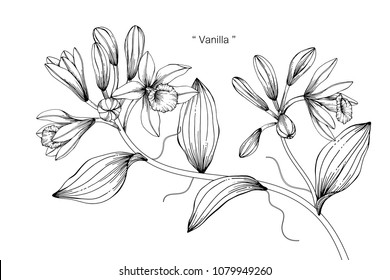 Vanilla flower drawing illustration. Black and white with line art on white backgrounds.
