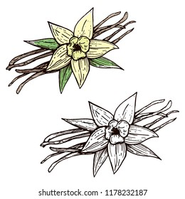 Vanilla pods and vanilla flower isolated, vector image of a flower and aromatic spices, Illustration of the hand draw