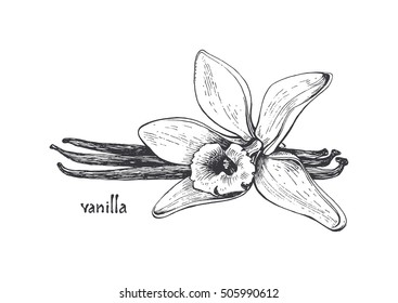 Vanilla pods and vanilla flower isolated, vector image of a flower and aromatic spices, Illustration of the hand